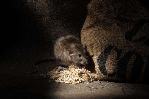 rat ayant troué le sac de grain qui mange