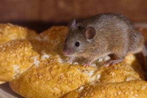 souris qui mange du pain - la dératisation est importante