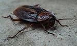 cafard, insecte rampant