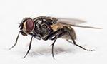 mouche, insecte volant
