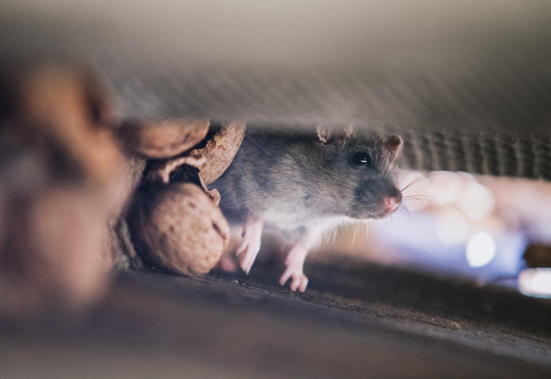 souris dans la maison désourisation