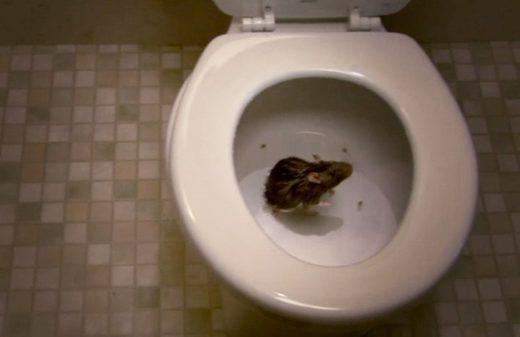 Rats dans les toilettes